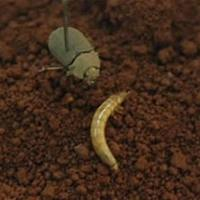 Striate false wireworm