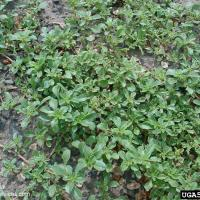 Prostrate pigweed