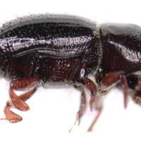 Ambrosia beetle