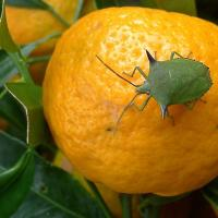 Spined citrus bug