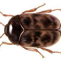 Khapra böceği