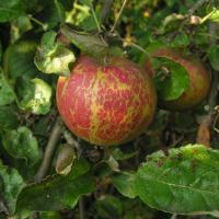 Pepelnica jabuke