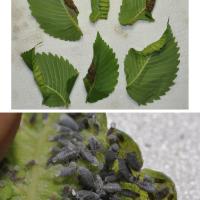 Woolly elm aphid