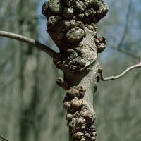 Phomopsis spp