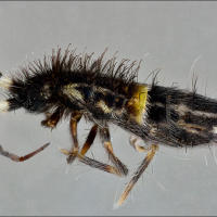 Insecto colémbolo