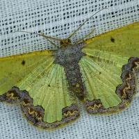 Mantolu böcek