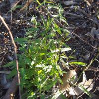 Australian bindweed
