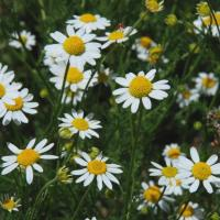 Stinking Mayweed