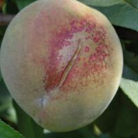 Peach rust