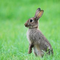 Ada tavşanı