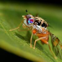 Mediteranska voćna muha