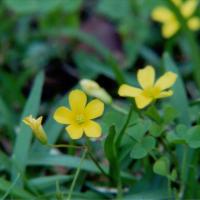 Florida yellow woodsorrel