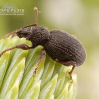 Küçük kabuk yazıcı böcekleri