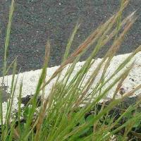 Rat's tail fescue
