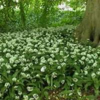 Wild garlic, ramsons, buckrams