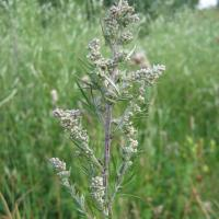 Common wormwood