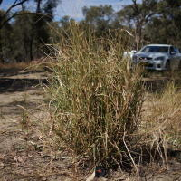 Warrego grass