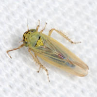 Aster leafhopper