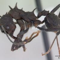 Hormiga negra comun