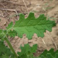Green crumbweed