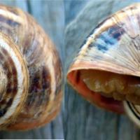 White Italian snail