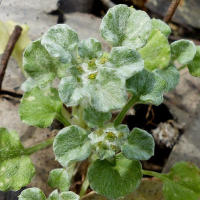 Spoon cudweed
