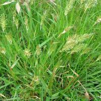 Sweet vernal grass