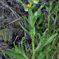 Tarweed fiddleneck