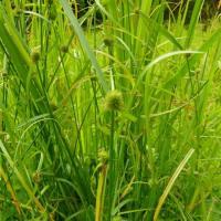 Kalinga weed