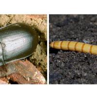 Eastern false wireworm