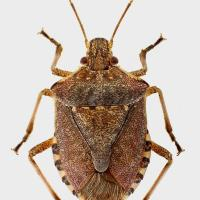 Stink Bug, Brown Marmorated