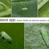 Cicalina verde