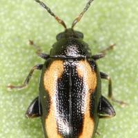 Escarabajo pulga rayado