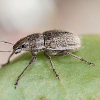 Whitefringed weevil