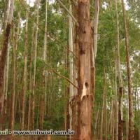 Eucalyptus urograndis