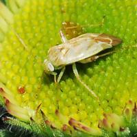 Brockenback bug