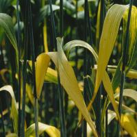 Barley yellow dwarf