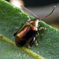Brown flea beetle