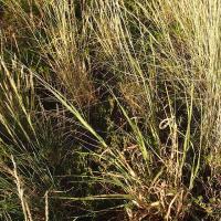 Native millet