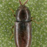 Pygmy beetle