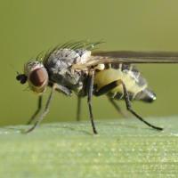 Agromyza