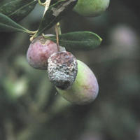 Blueberry root rot