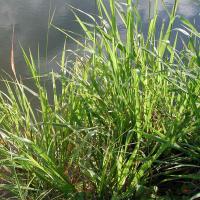 Hamil grass