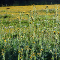 Yellow burr weed