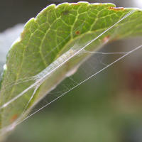 Apple leaf miner