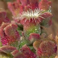 Common ice plant