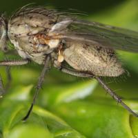 Летняя капустная муха
