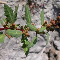 Oak-leaved goosefoot