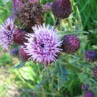 Californian thistle