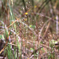 Silvery hairgrass